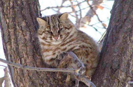 Дикий лесной кот на дереве