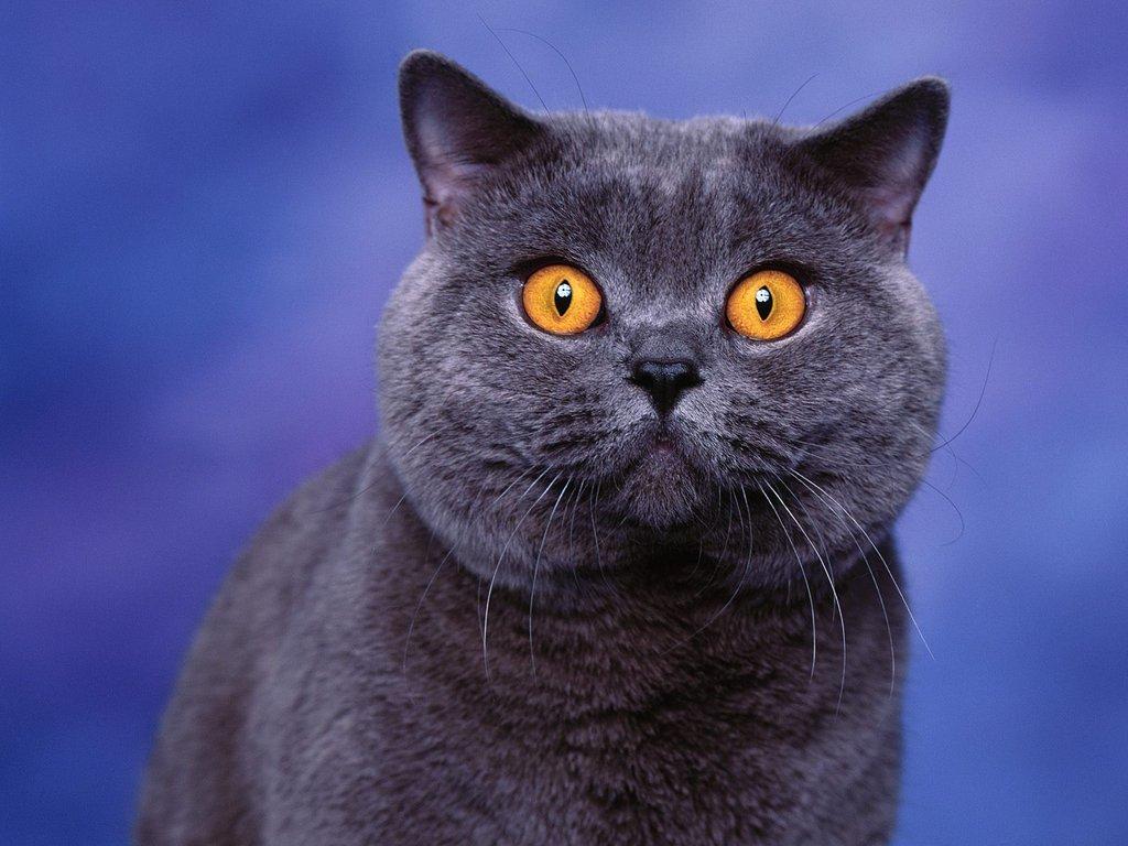 Британская (шотландская) вислоухая кошка