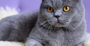 Кот голубого цвета