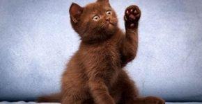 Шоколадный цвет кота