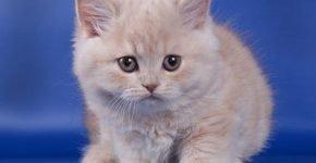 Котёнок кремового цвета