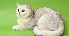 Кот затушёванного серебристого цвета