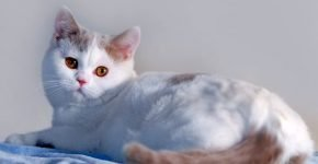 Цвет кота лиловый арлекин