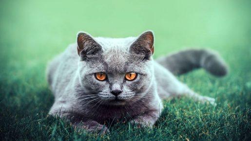 Красивый британский кот