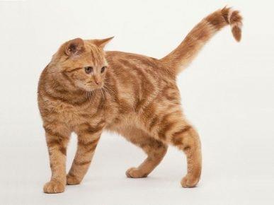 Стандарт британской породы кошек