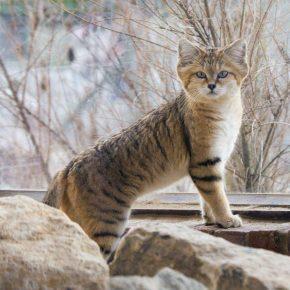 Барханный кот среди камней