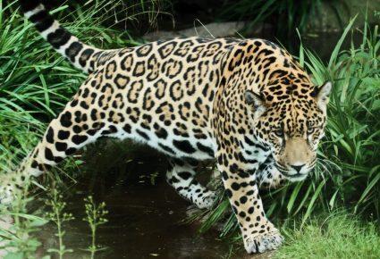 Ягуар на природе