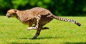 Гепард делает прыжок