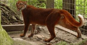 Калимантанская кошка в вольере