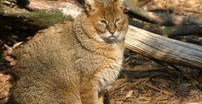 Гобийская серая кошка на природе