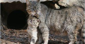 Европейская лесная кошка с детёнышем