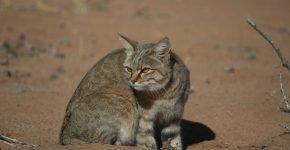 Степная кошка на природе