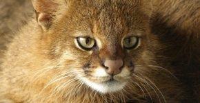 Пампасская кошка в природе