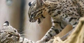 Кошка жоффруа в природе