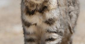 Андская кошка в природе