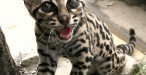 Длиннохвостая кошка или маргай на улице