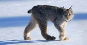 Канадская рысь зимой на природе