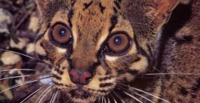 Мраморная кошка в природе