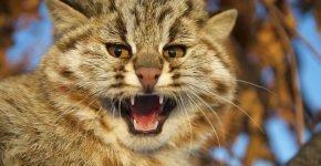 Амурский лесной кот на дереве