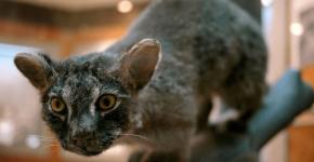 Ириомотская кошка