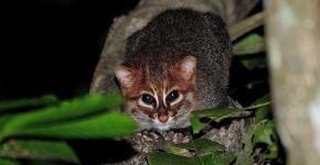 Суматранская кошка на дереве в темноте