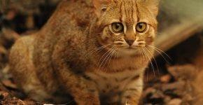 Ржавая кошка в природе
