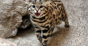 Азиатская леопардовая кошка в природе