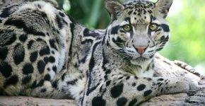 Дымчатый леопард В природе
