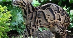 Калимантанский дымчатый леопард на природе