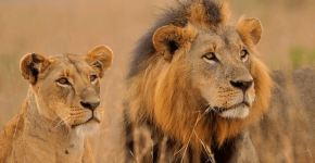 Лев и львица на природе