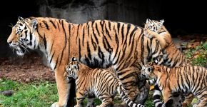 Тигрица с детёнышами