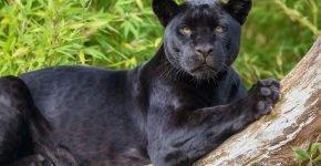 Черная пантера на дереве