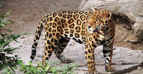 Ягуар в природе
