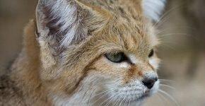 Барханная кошка на природе