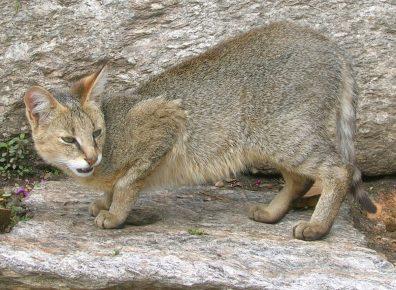 Камышовый кот стоит на камне
