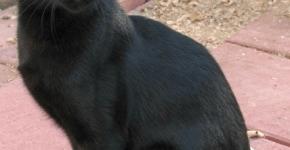 Черная кошка сидит