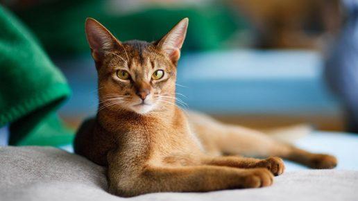 Абиссинская кошка с гордым взглядом лежит