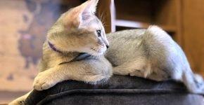 Чаузи лежит на спинке кресла