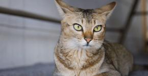 Красивая и грациозная кошка