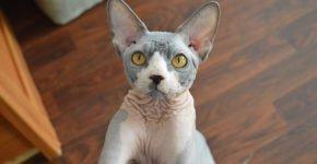 Донской сфинкс с жёлтыми глазами