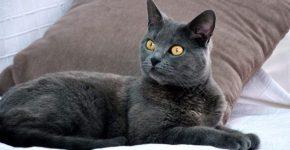 Шартрезская кошка