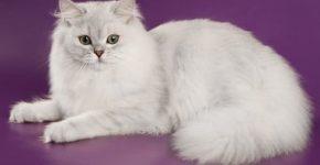 Британская длинношёрстная кошка