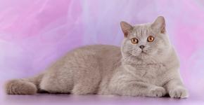 Лиловый кот