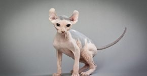 Эльф котёнок