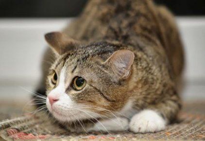 Кошка лежит и смотрит круглыми глазами