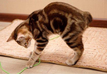 Короткохвостый кот играет
