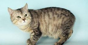 Полосатая кошка с зелёными глазами