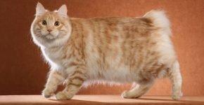 Рыжая пушистая кошка