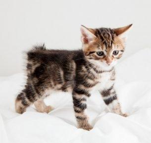 Котёнок-бобтейл