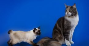 Скиф-той-боб в сравнении с большой кошкой